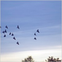 birds_in_autumn_sky_196428