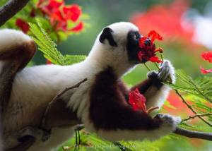 Lemur enjoying the perfume of a flower_n