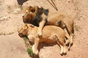 A loving couple of lions_n