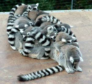Lemur babies in togetherness_n