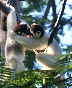 Two lemurs in love_n